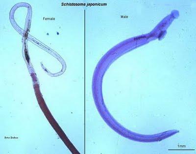 cacing schistosoma japonicum dalam babi