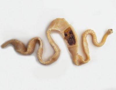cacing trichinila spiralis dalam babi